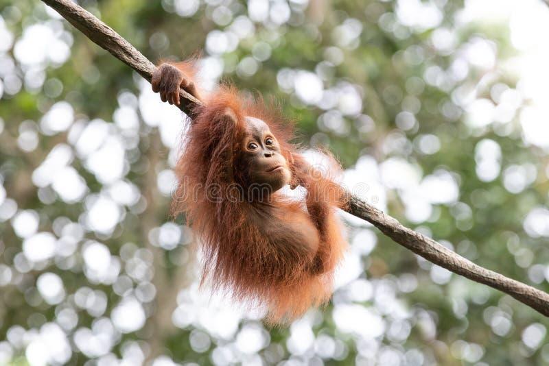 Portrait d'un orang-outan dans une forêt tropicale photographie stock