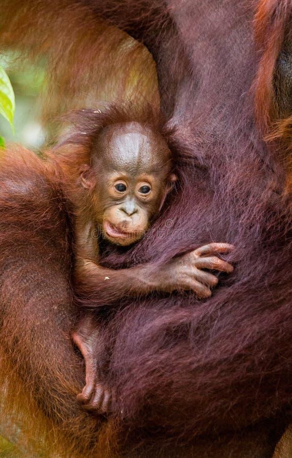 Portrait d'un orang-outan de bébé Plan rapproché l'indonésie L'île de Kalimantan Bornéo photographie stock