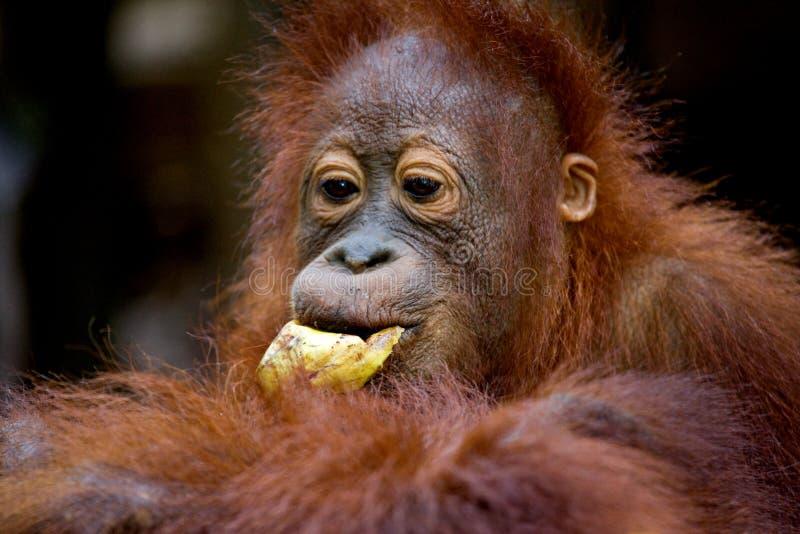 Portrait d'un orang-outan de bébé Plan rapproché l'indonésie L'île de Kalimantan et de x28 ; Borneo& x29 ; photo libre de droits