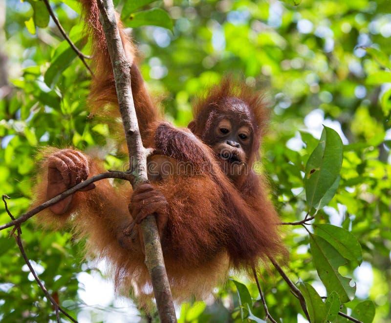 Portrait d'un orang-outan de bébé Plan rapproché l'indonésie L'île de Kalimantan et de x28 ; Borneo& x29 ; photos stock