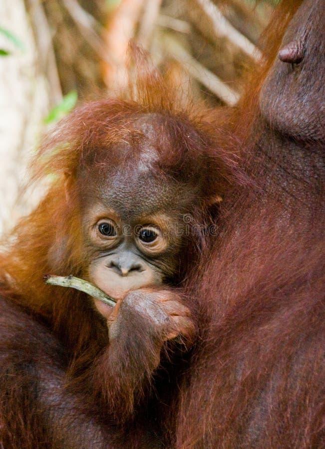 Portrait d'un orang-outan de bébé Plan rapproché l'indonésie L'île de Kalimantan et de x28 ; Borneo& x29 ; image stock