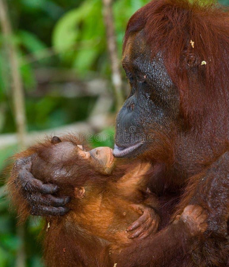 Portrait d'un orang-outan femelle avec un bébé dans le sauvage l'indonésie L'île de Kalimantan Bornéo image libre de droits