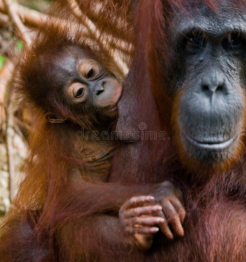 Portrait d'un orang-outan femelle avec un bébé dans le sauvage l'indonésie L'île de Kalimantan et de x28 ; Borneo& x29 ; image stock