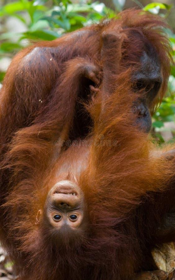 Portrait d'un orang-outan femelle avec un bébé dans le sauvage l'indonésie L'île de Kalimantan et de x28 ; Borneo& x29 ; photo libre de droits