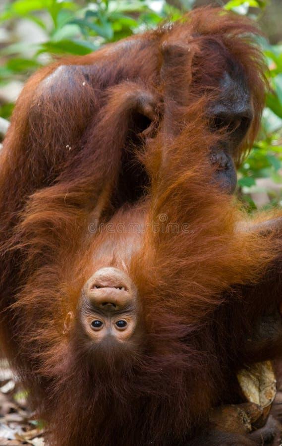 Portrait d'un orang-outan femelle avec un bébé dans le sauvage l'indonésie L'île de Kalimantan et de x28 ; Borneo& x29 ; images stock