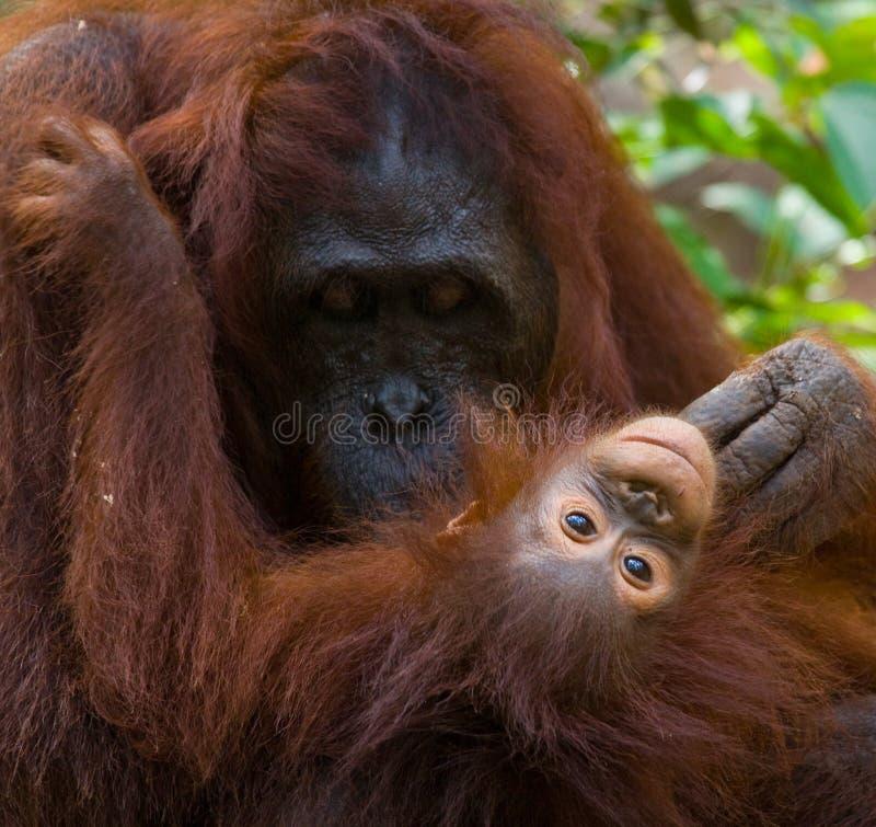 Portrait d'un orang-outan femelle avec un bébé dans le sauvage l'indonésie L'île de Kalimantan et de x28 ; Borneo& x29 ; photographie stock libre de droits