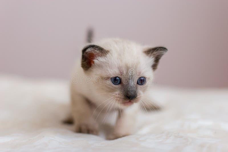 Portrait d'un petit chaton siamois avec des yeux bleus, un nez brun et une longue moustache photo stock