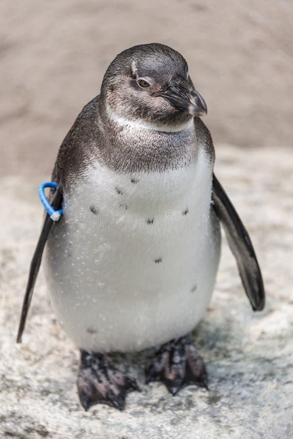 Portrait d'un petit pingouin au temps de sommer, Allemagne photographie stock libre de droits