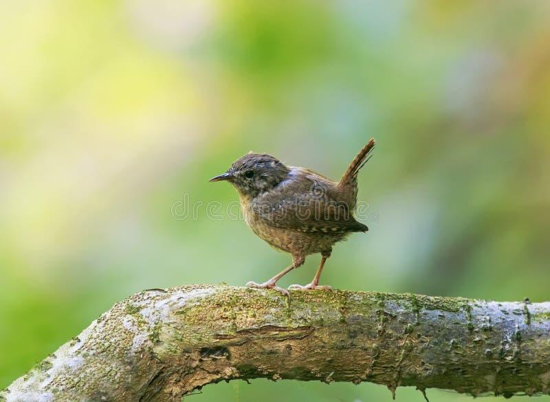 Portrait d'un petit roitelet drôle d'oiseau se reposant en parc sur un arbre image stock