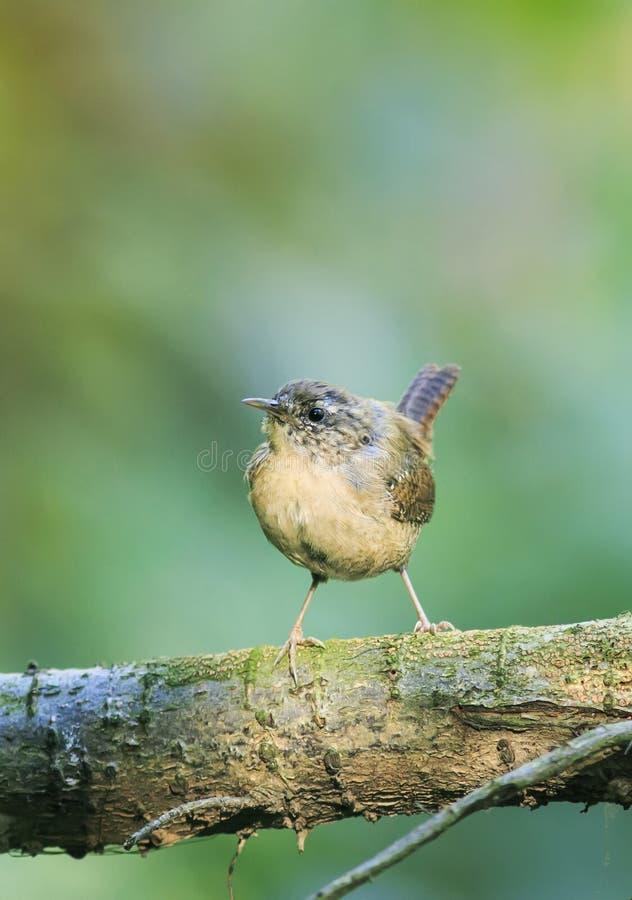 Portrait d'un petit roitelet drôle d'oiseau se reposant en parc sur un arbre images libres de droits