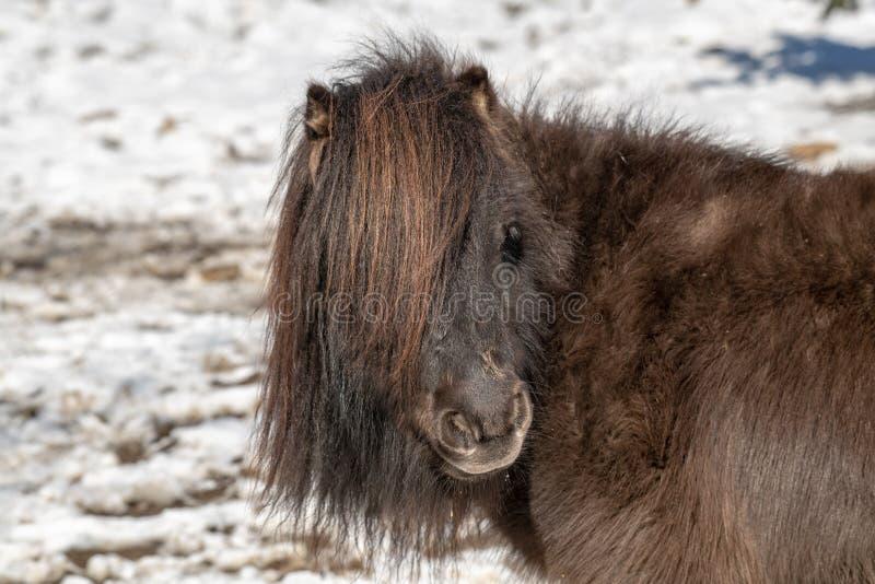 Portrait d'un poney Poney dans la campagne photo stock