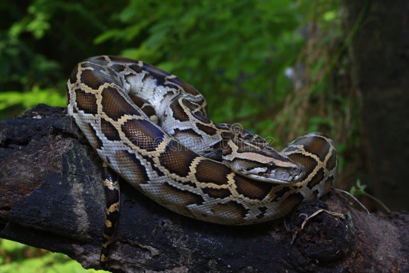 Portrait d'un python birman, bivittatus de python photographie stock