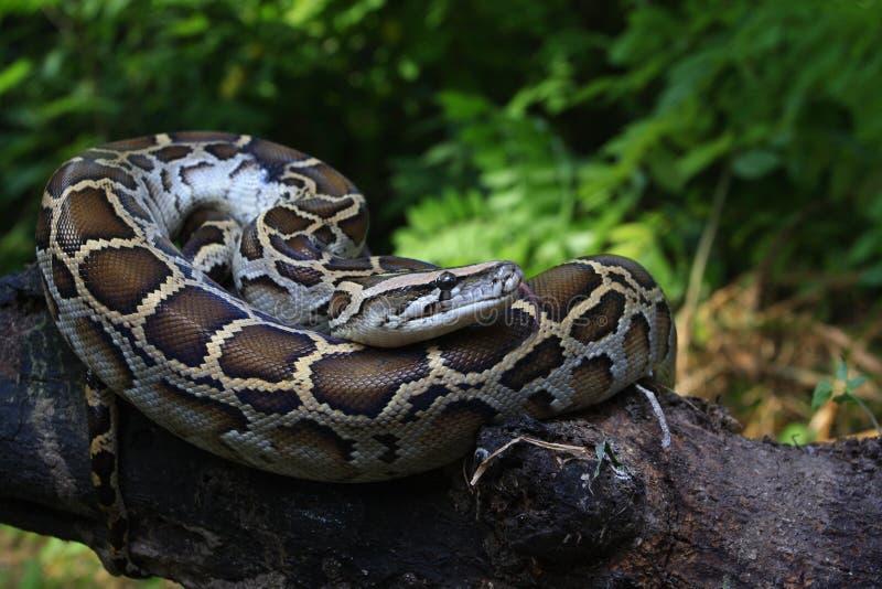 Portrait d'un python birman, bivittatus de python photo libre de droits