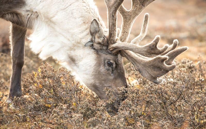 Portrait d'un renne dans le taiga mongol images stock