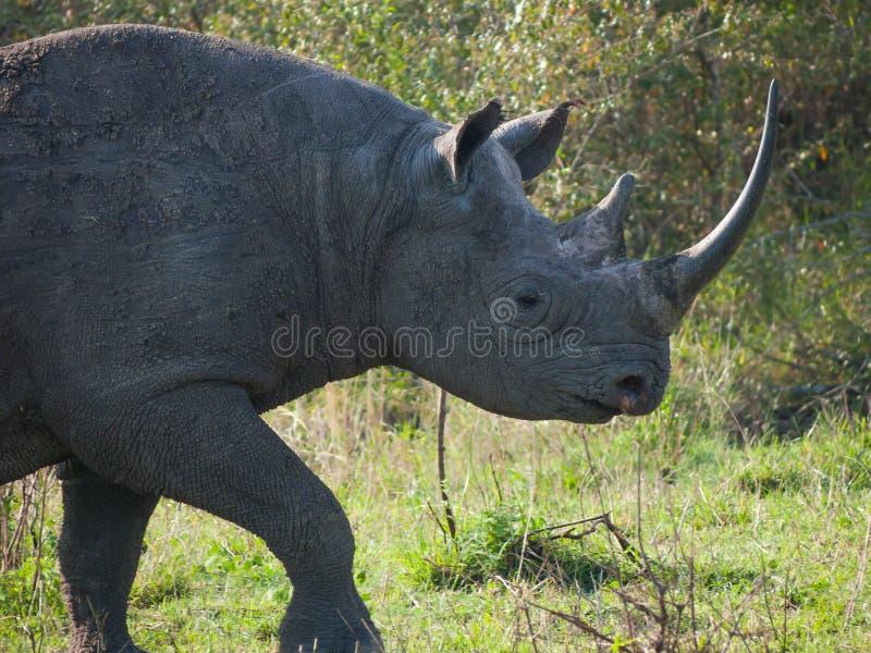 Portrait d'un rhinocéros noir sauvage ou de rhinocéros crochet-labié image stock