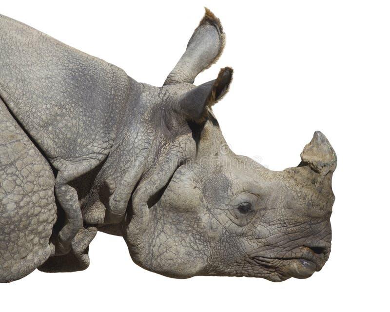 Portrait d'un rhinocéros sur le fond blanc image stock