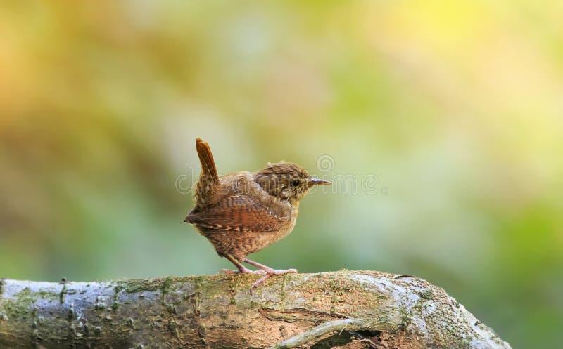Portrait d'un roitelet drôle brun mignon d'oiseau se tenant en parc sur a photo stock