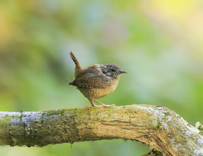 Portrait d'un roitelet drôle brun mignon d'oiseau se tenant en parc sur a photos stock