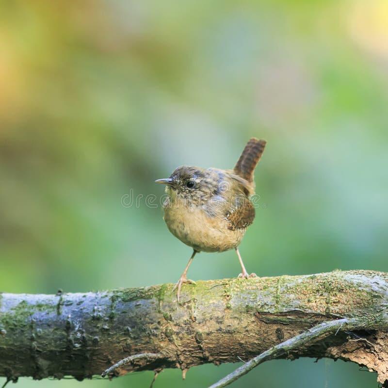 Portrait d'un roitelet drôle brun mignon d'oiseau se tenant en parc sur a photos libres de droits