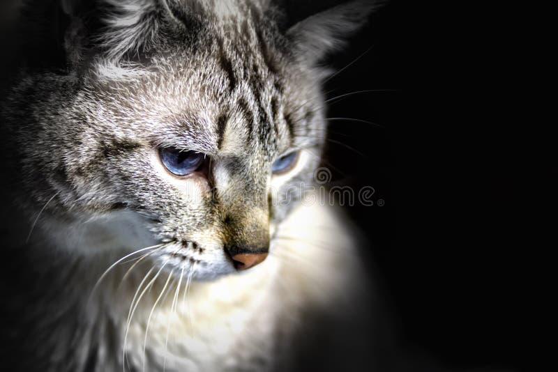 Portrait d'un siamois aux yeux bleus photographie stock libre de droits