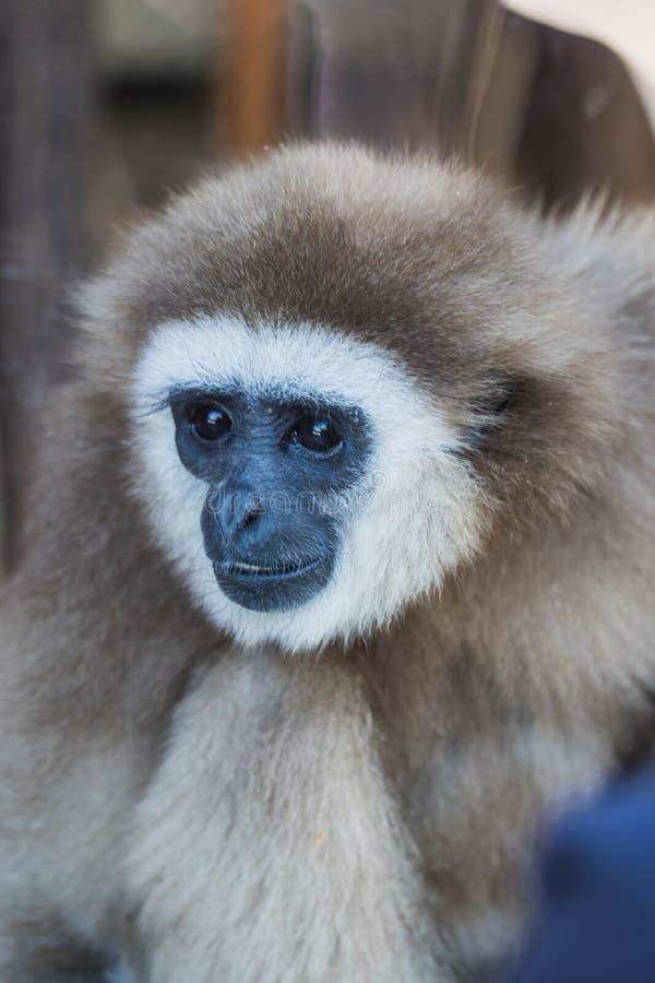 Portrait d'un singe de repos de gibbon derrière des glas images libres de droits
