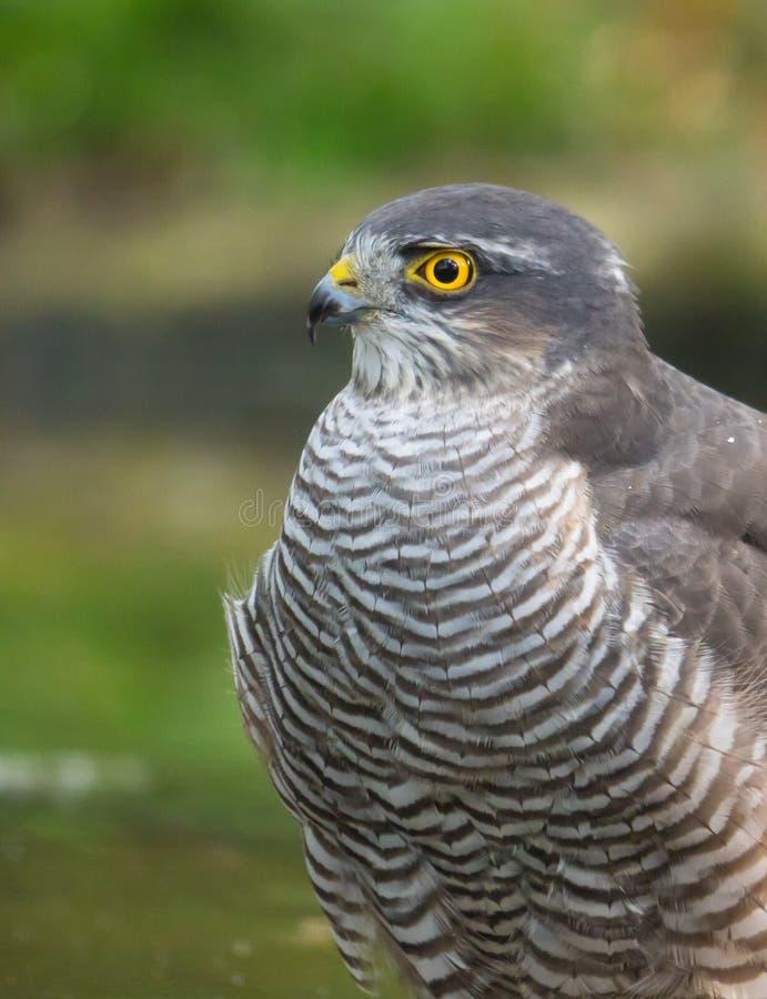 Portrait d'un Sparrowhawk eurasien photographie stock