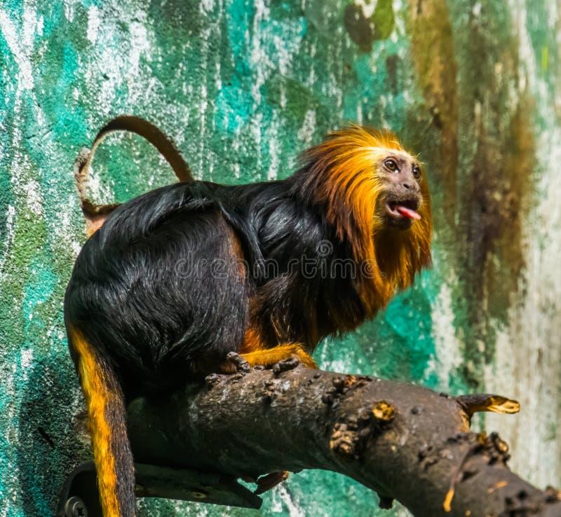 Portrait d'un tamarin dirigé d'or de lion, beau singe tropical du Brésil, espèce animale mise en danger image stock