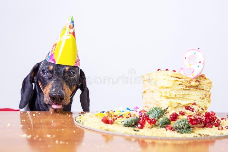 Portrait d'un teckel, noir et bronzage, avec lécher la langue et affamé pour un gâteau de joyeux anniversaire avec la bougie 9, p photo stock