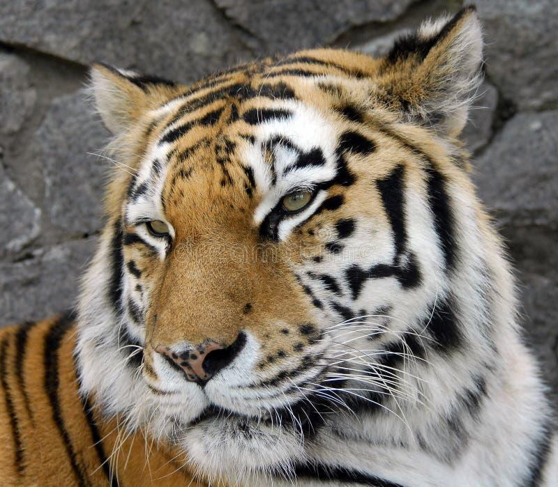 Portrait d'un tigre d'Amur photo libre de droits
