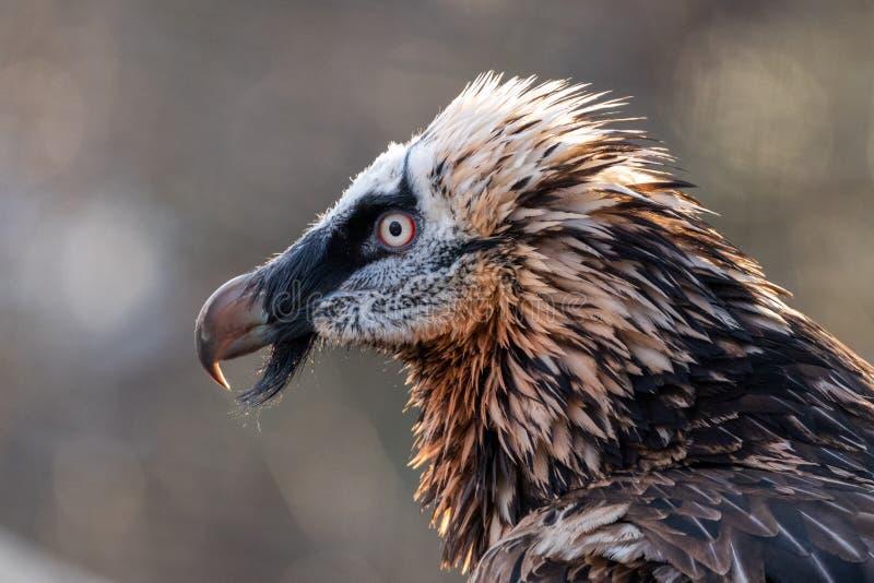 Portrait d'un vautour barbu photographie stock