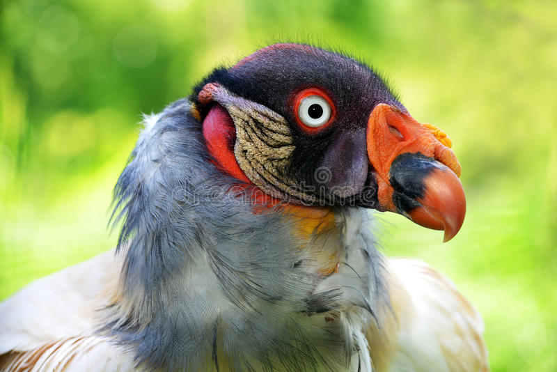 Portrait d'un vautour de roi images libres de droits