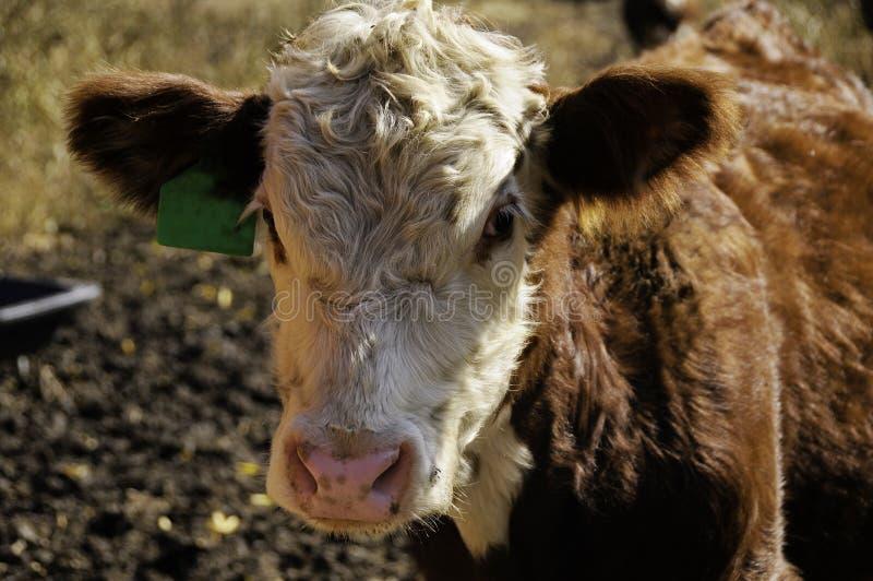 Portrait d'un veau de Hereford photographie stock