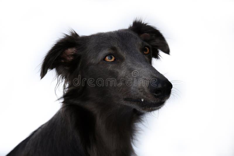 Portrait d'un whippet de soie de windsprite photos stock