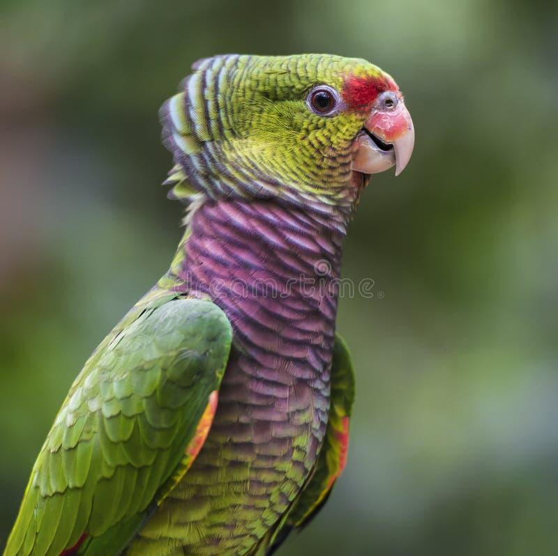 Portrait d'une Amazone vinaceous-breasted photos stock