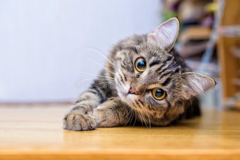Portrait d'une belle fin rayée grise de chat  images libres de droits