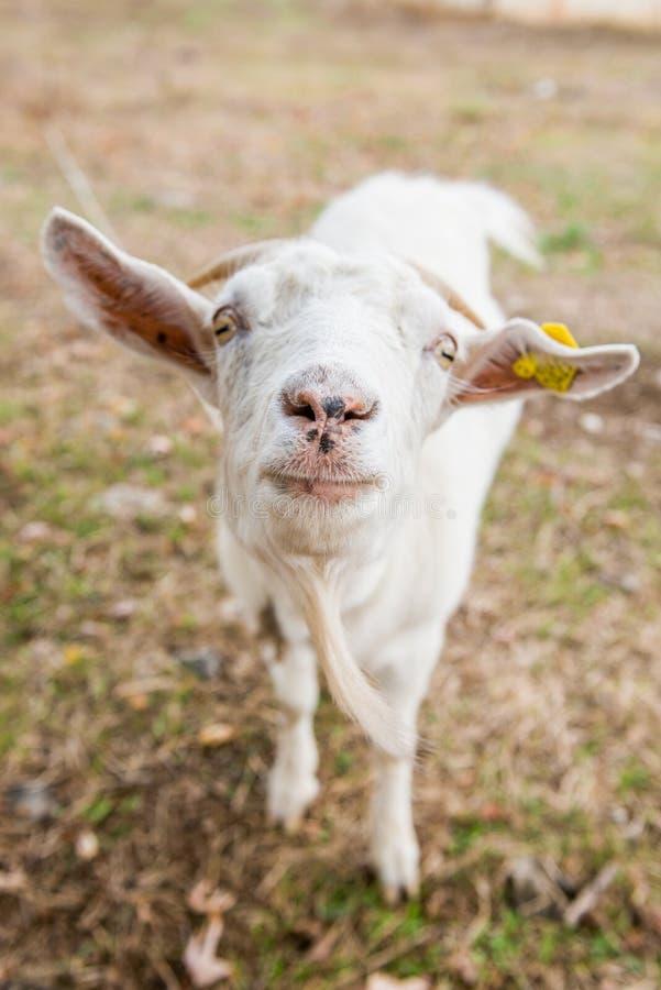 Portrait d'une chèvre drôle regardant à l'appareil-photo au-dessus du fond d'herbe de chute photographie stock