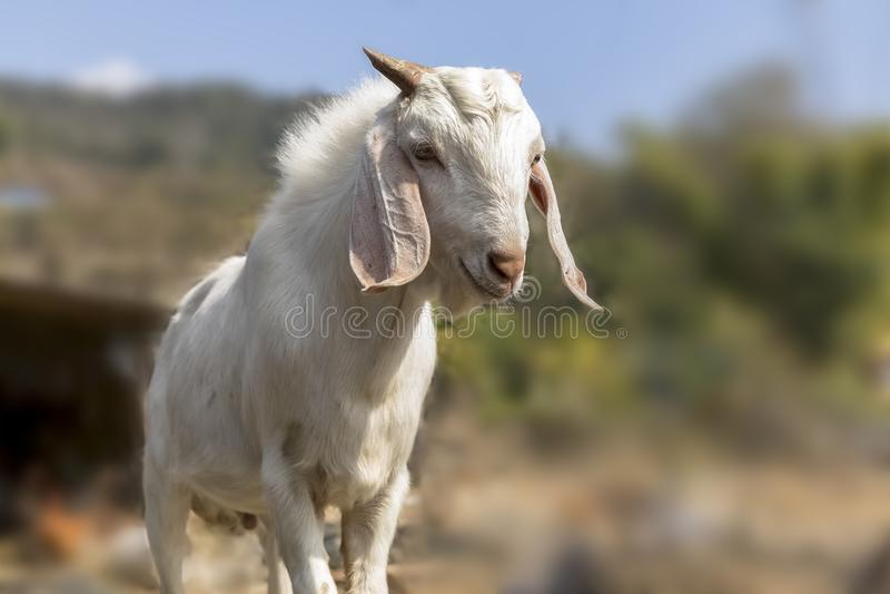 Portrait d'une chèvre du Népal dans la zone rurale Pokhara de ferme de chèvre image stock