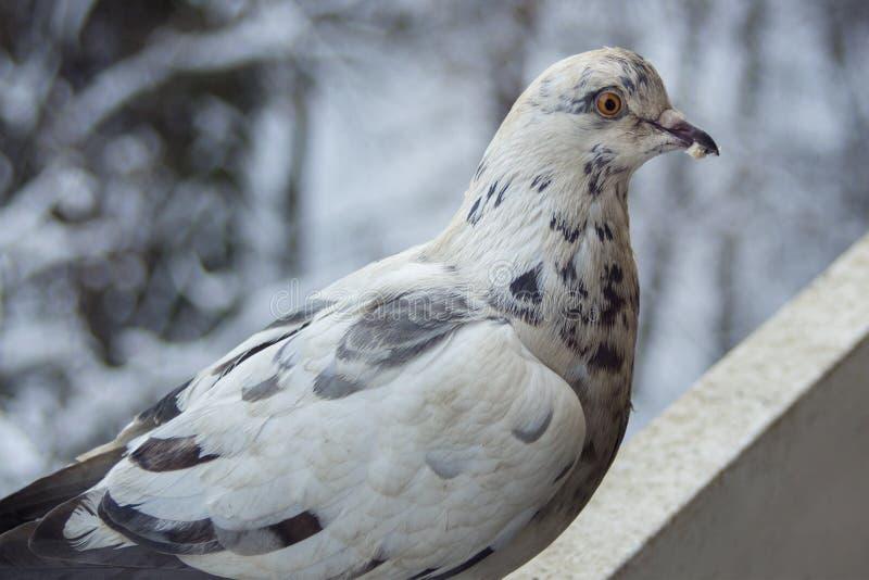 Portrait d'une colombe images stock