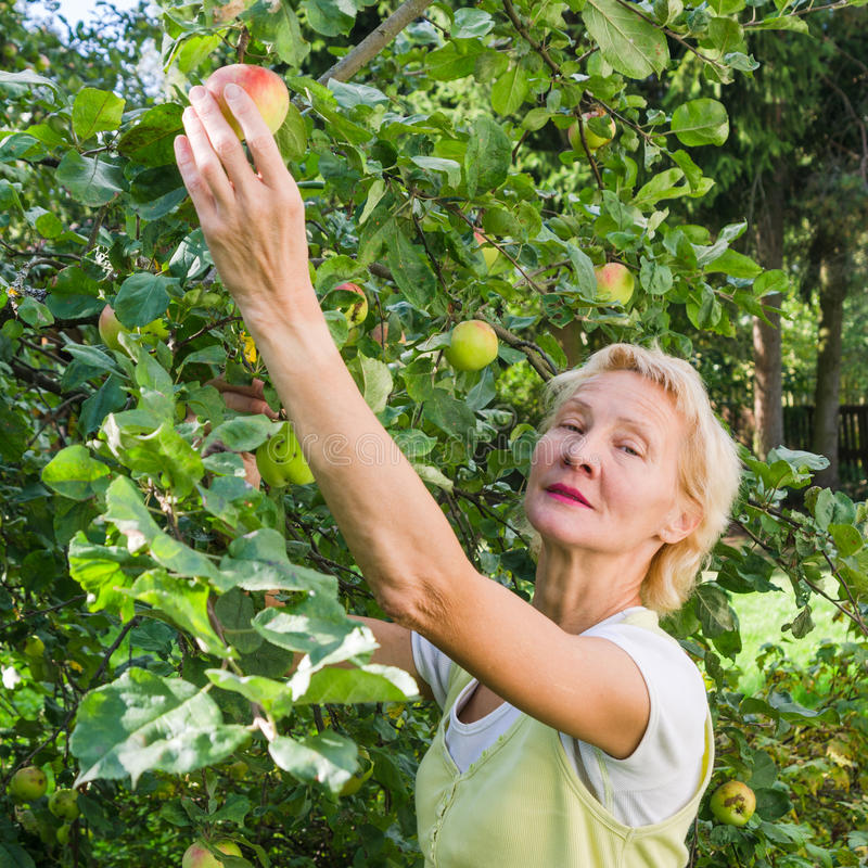 Portrait d'une femme rassemblant des pommes dans le jardin image libre de droits
