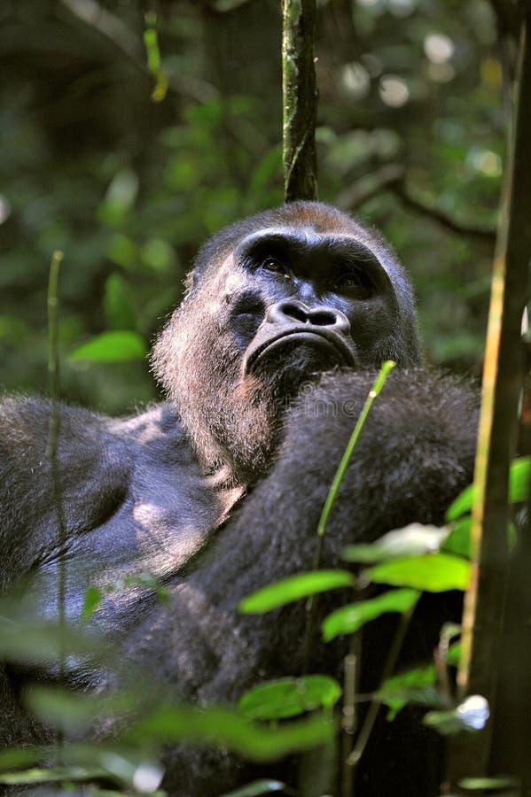 Portrait d'une fin de gorille de plaine occidentale (gorille de gorille de gorille) à une distance courte Silverback - mâle adult photographie stock libre de droits