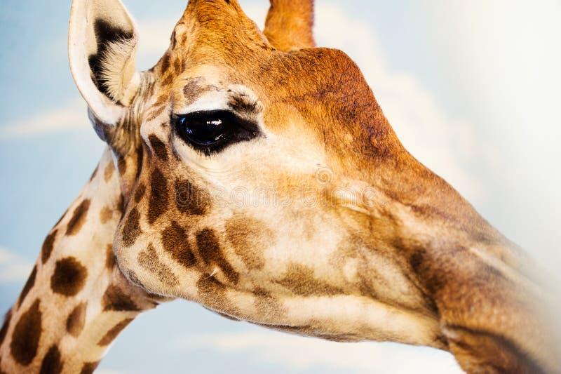 Portrait d'une girafe photo libre de droits