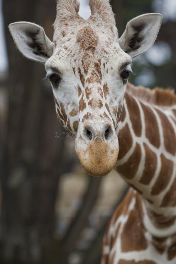 Portrait d'une girafe réticulée photo stock