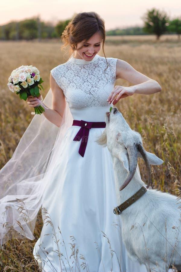Portrait d'une jeune mariée dans une robe de mariage qui alimente une chèvre et rit photo libre de droits