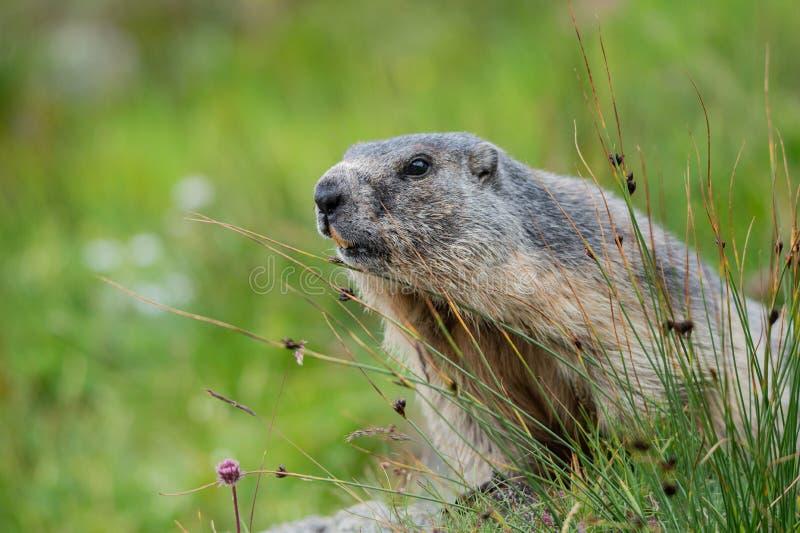 Portrait d'une marmotte se reposant derrière une touffe d'herbe image stock