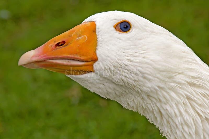 Portrait d'une oie photographie stock