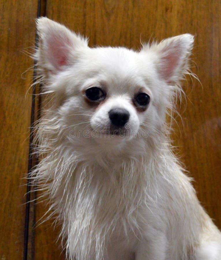 Portrait d'une race blanche de chiwawa de chien avec de longs cheveux humides images stock