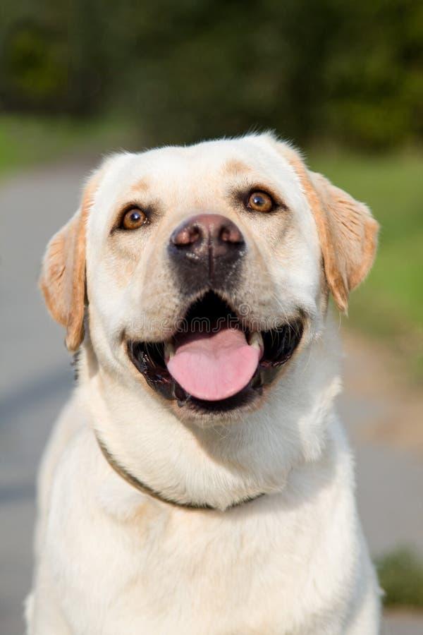 Portrait d'une race de sourire de chien de Labrador d'or photo libre de droits