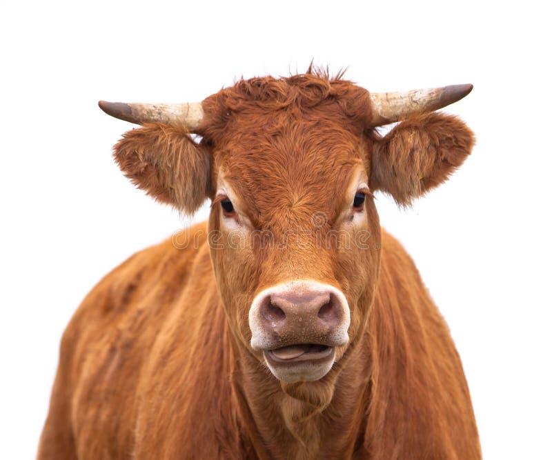 Portrait d'une vache photographie stock