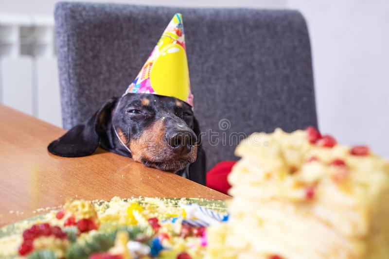 Portrait of a dachshund, black and tan, in a festive hat, fell asleep in anticipation of a birthday cake.  stock photography