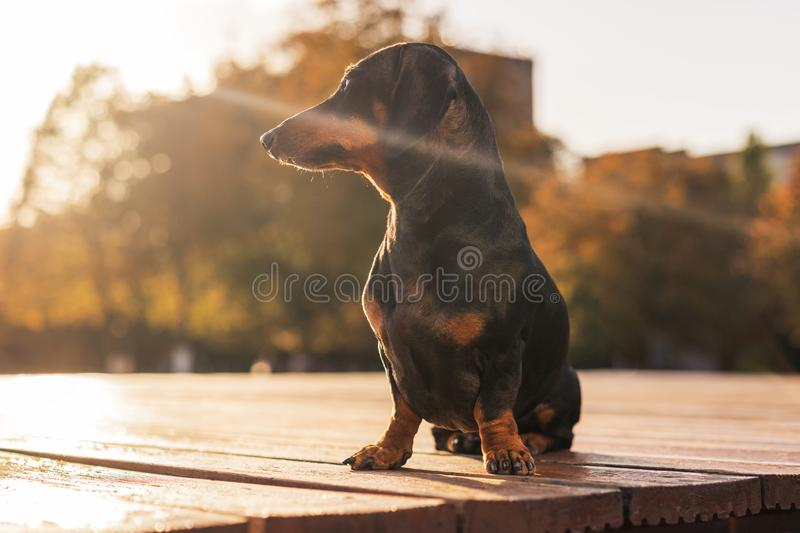 Portrait of a dachshund dog on the background of a beautiful sunset sky in the autumn while walking in nature royalty free stock photo